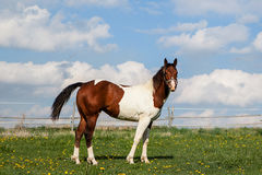 Brown and white horse on grass Stock Images