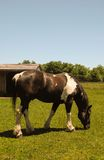 Brown and white horse. A brown and white horse grazing in a field Royalty Free Stock Photo