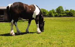 Brown and white horse. A brown and white horse grazing in a field Royalty Free Stock Images