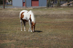 Brown and white horse  grazing Stock Photo