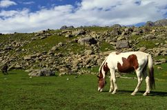 Horse grazing in a meadow stock images
