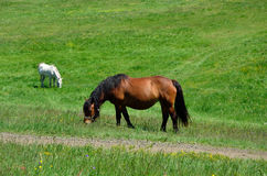 Brown and white horse grazing Stock Images