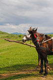 Brown and white horse in harness middle of the field in Carpathians, Ukraine. Brown and white horse in harness middle of the field in Carpathians Royalty Free Stock Photos