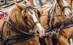 Brown and white horse head pulling cart stock images
