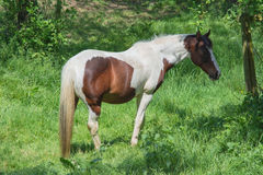 Brown white horse in a pasture Royalty Free Stock Photography