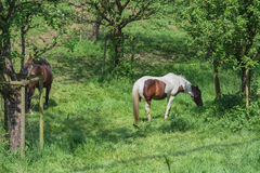 Brown white horse in a pasture Royalty Free Stock Images