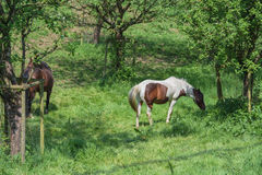 Brown white horse in a pasture Stock Images
