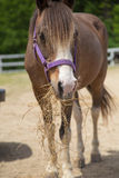 Brown and White Horse Purple Bridle Eating Hay. A brown and white horse wearing a purple bridle eats a pile of hay Royalty Free Stock Photos