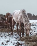 Horses eating frozen grass under snow stock images
