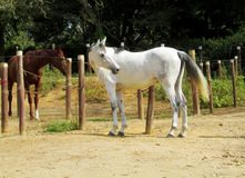 Brown and white horses on farm Royalty Free Stock Images