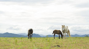 Brown and white horses on green field. Brown and white horses running on green field background with blue mountain and dark cloud royalty free stock photo