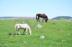 Brown and white horses on a meadow. Two beautiful hoses Stock Photo