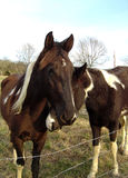 Brown-and-White Horses Nuzzling One Another Royalty Free Stock Photo