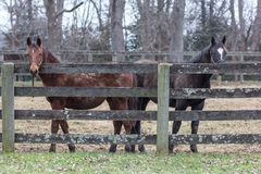 Brown and white horses in a paddock royalty free stock photos