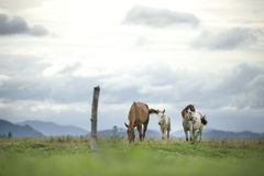Brown and white horses running on green field. Background with blue mountain and dark cloud stock photography