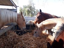 Brown and white horses in a stable. Eating hay and grass in the stable Royalty Free Stock Image