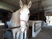 Brown and white horses in a stable. Eating hay and grass in the stable Royalty Free Stock Photos