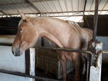 Brown and white horses in a stable. Eating hay and grass in the stable Royalty Free Stock Photo