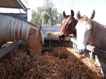 Brown and white horses in a stable. Eating hay and grass in the stable Royalty Free Stock Images