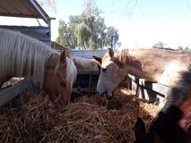 Brown and white horses in a stable. Eating hay and grass in the stable Stock Photos