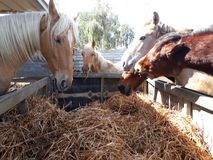 Brown and white horses in a stable. Eating hay and grass in the stable Stock Photo