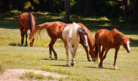 Brown and White Horses Walking Through a Pasture Stock Images