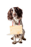 Brown-white hunting dog with signs on white Stock Photos