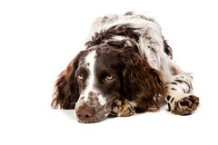 Brown-white hunting dog on white Stock Photo