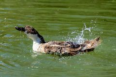 Brown and white hybrid duck splashing, washing and preening feathers swimming on a lake stock images