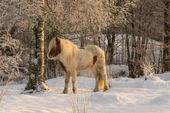 Brown and white Icelandic horse in the snow Stock Photo