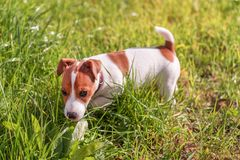 Jack Russel puppy on the grass Stock Photos
