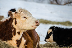 A brown and white jersey cow with her black and white calf Royalty Free Stock Image