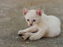 Brown and white stray kitten in temple showing stress and doubt in gray concrete background. Brown and white kitten in temple lying on the ground showing stress Royalty Free Stock Photos