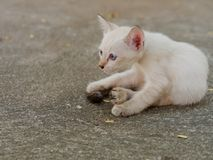 Brown and white stray kitten in temple showing stress and doubt in gray concrete background. Brown and white kitten in temple lying on the ground showing stress Stock Images