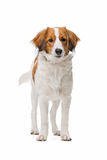 Brown and white Kooiker dog Royalty Free Stock Image