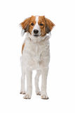 Brown and white Kooiker dog Royalty Free Stock Photos