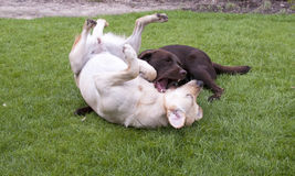 Brown and white labrador play Stock Images