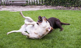 Brown and white labrador play Royalty Free Stock Photo