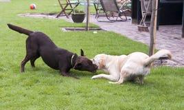 Brown and white labrador play Stock Photo