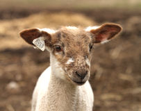 Brown and White Lamb with tags. Brown and white lamb face with tags in ear Stock Photo