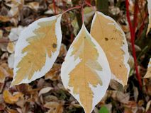 Brown and white leaves in autumn. Three leaves with lost colour Stock Photography