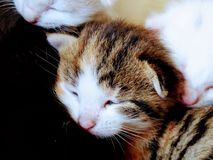 Brown and white little kitten sleeping, eyes closed. Tiny, cat, cats, pet, pets, adorable, cute royalty free stock photos
