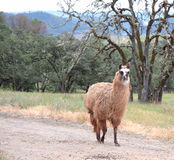 Brown and White Llama Royalty Free Stock Photography