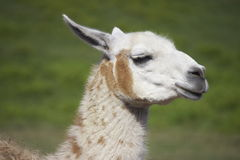 Brown and White Llama. A brown and white llama (Llama glama) in a paddock Royalty Free Stock Image