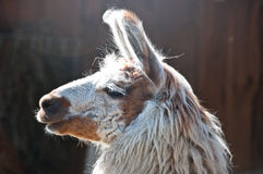 Brown and white llama in the sun Royalty Free Stock Photo