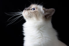 Brown white longhair cat looking up Stock Images