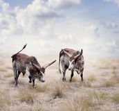 Brown and white longhorn steers Royalty Free Stock Image