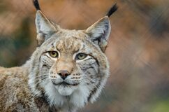 Brown and White Lynx in Close Photography Royalty Free Stock Images