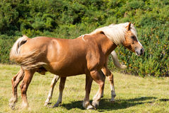 Brown and White Mare with Foal Royalty Free Stock Photography