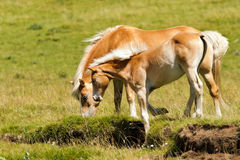 Brown and White Mare with Foal Stock Images